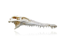 Crocodile skull Stock Image
