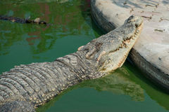 Crocodile sleep Royalty Free Stock Photography