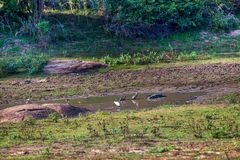A crocodile is sleeping at the edge of a pond in the Yala Nationalpark. A crocodile is sleeping at the edge of a pond, in the Yala Nationalpark on the tropical Royalty Free Stock Image
