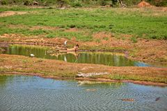 A crocodile is sleeping at the edge of a pond in the Yala Nationalpark. A crocodile is sleeping at the edge of a pond, in the Yala Nationalpark on the tropical Royalty Free Stock Photography