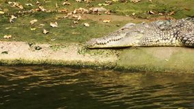 Crocodile is Sleeping near the Water stock video