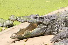 Crocodile is open mouth royalty free stock photos