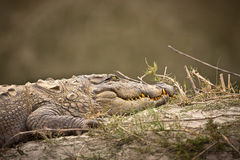 Crocodile sleeping on the riverbank Royalty Free Stock Photo