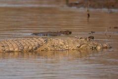 Crocodile sleeping Stock Images