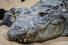 The Crocodile sleeps tonight stock photography