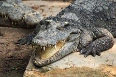 Crocodile and smile. The fierce crocodile sleep and smile happily royalty free stock photography