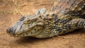 Crocodile. Spectacled caiman or common white caiman Caiman crocodilus close-up on a sandy area. Spectacled caiman or common white caiman Caiman crocodilus close stock photo