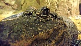 Crocodile staring at the camera stock footage