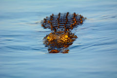 Crocodile staring motionless. Watching crocodile staring at the boat motionless Royalty Free Stock Images