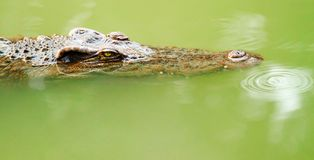 Crocodile is staring at you Royalty Free Stock Photos