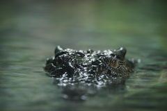 Crocodile. A stealthy crocodile locking its sight on a prey Stock Image