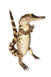 Crocodile stuff isolate on white background Royalty Free Stock Photos
