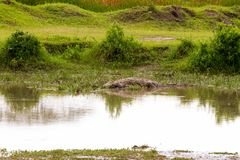 Crocodile subfamily Crocodylinae in the water in Serengeti Stock Photos