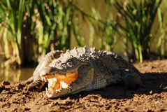 Crocodile in the sun. A Crocodile basking in the sun Royalty Free Stock Images