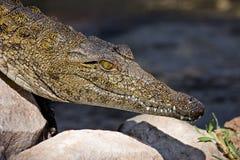Crocodile sun Stock Photos