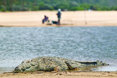 Crocodile in sun near two fishermen in rear-view at  Greater St. Lucia Wetland Park World Heritage Site, St. Lucia, South Africa Royalty Free Stock Images