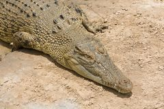 Crocodile sunbaking Royalty Free Stock Photography