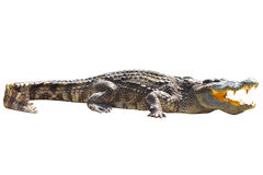Crocodile sunbathe Royalty Free Stock Photography