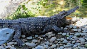 Crocodile sunbathe. Crocodile Open mouth sunbathe in farm Royalty Free Stock Photography