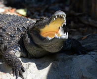 Crocodile sunbathe. Crocodile Open mouth sunbathe in farm Stock Photo