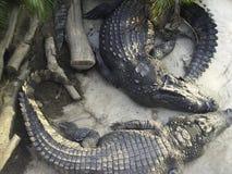Crocodile is sunbathing Stock Photo