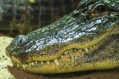 Crocodile sunbathing on sand Stock Images
