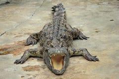 Crocodile sunbathing Stock Photography