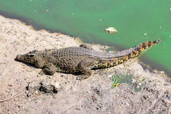 Crocodile sur la berge Photos stock