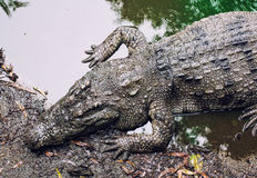Crocodile sur la rive Image stock