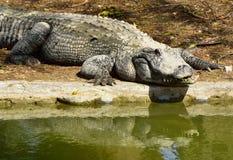 Crocodile sur le rivage d'étang Photographie stock libre de droits