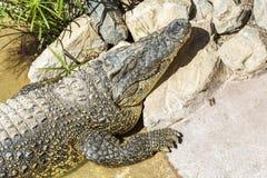 Crocodile sur le rivage se dorant au soleil, plan rapproché Image libre de droits
