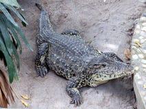Crocodile sur le sable Image libre de droits