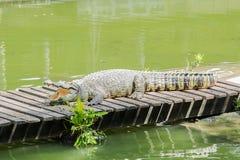 Crocodile sur un pont en bois avec de l'eau   Sam Pran Fram, Thaïlande Photographie stock