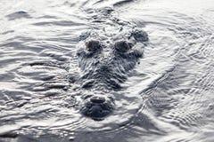 Crocodile at Surface of Lagoon Royalty Free Stock Photos