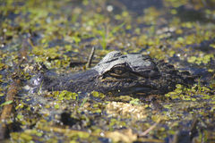 Crocodile in the swamp Royalty Free Stock Photography