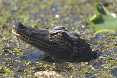 Crocodile in the swamp Royalty Free Stock Images