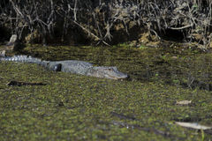 Crocodile in the swamp Stock Images