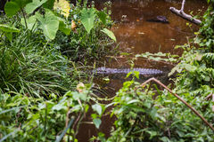 Crocodile in swamp Royalty Free Stock Images