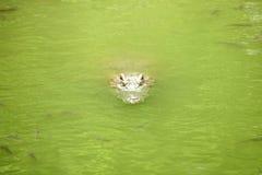 Crocodile in the swamp swimming Stock Photos