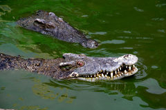 Crocodile swim in pond Stock Images
