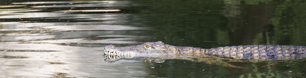 Crocodile swimming Stock Photography