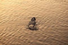 Crocodile Swimming in Lagoon at Sunset Stock Photos