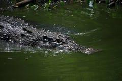 Crocodile Swimming in Lake. Wildlife photo, image of big crocodile swimming in lake, crocodylus porosus Stock Photography