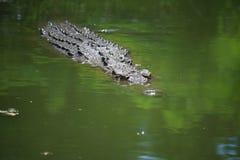 Crocodile Swimming in Lake. Wildlife photo, image of big crocodile swimming in lake, crocodylus porosus Royalty Free Stock Photography