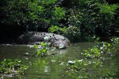 Crocodile Swimming in Lake. Wildlife photo, image of big crocodile swimming in lake, crocodylus porosus Royalty Free Stock Images