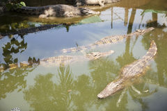 Crocodile swimming in a local pond Stock Photos