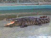 Crocodile in swimming pool Royalty Free Stock Image