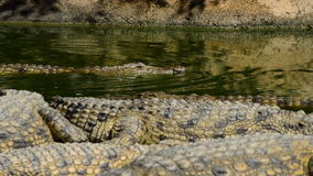 Crocodile swimming in a river full of crocodiles stock footage