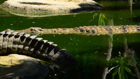 Crocodile swimming in a river full of crocodiles in a natural park stock video