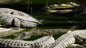 Crocodile swimming in a river full of crocodiles in a natural park or zoo. Crocodile or alligator in a river of a natural park or zoo stock footage